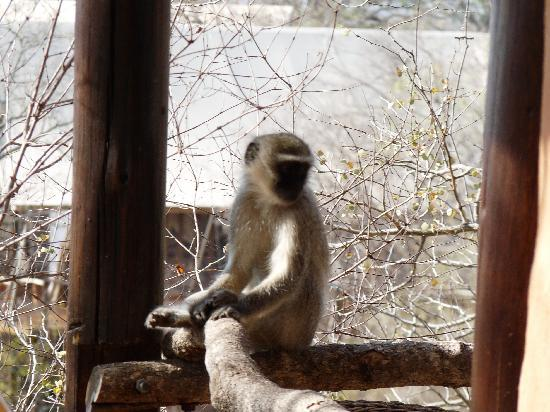 Makalali Private Game Reserve, South Africa: Monkeys on our balcony