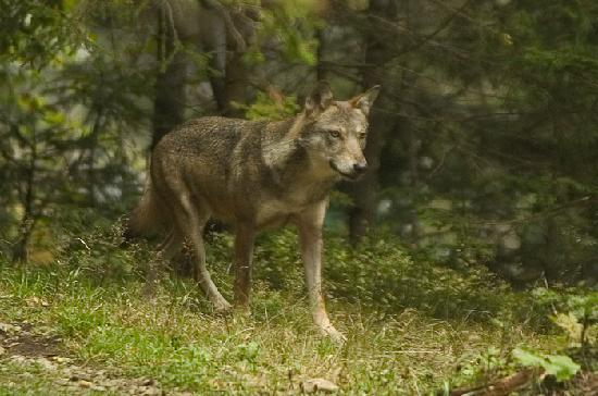 Provence, France: Wolves in the Mercantour - France