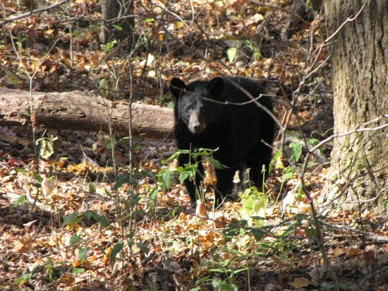 Whittier, NC: The black bear I saw on my 2nd day