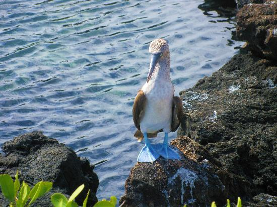 Hotel Albemarle: Blue footed boody seen nearby