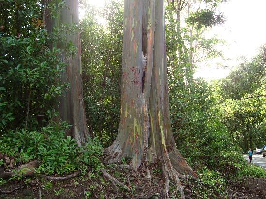 Discover Hawaii Tours: Rainbow eucalyptus tree