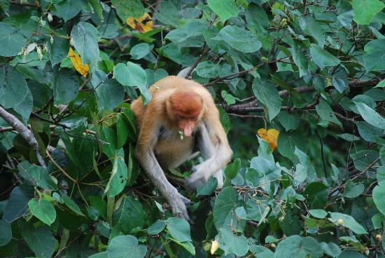 Borneo Proboscis River Lodge: Monkey breakfasting