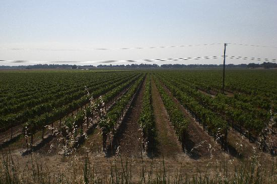 Windsor, CA: Vineyards in late September - Sonoma