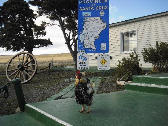 Patagonia, Argentina: Gallo argentino en frontera con chile