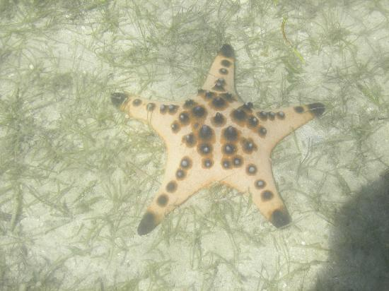 Glan, Philippines: Starfish in 1/2 meter of crystal clear water