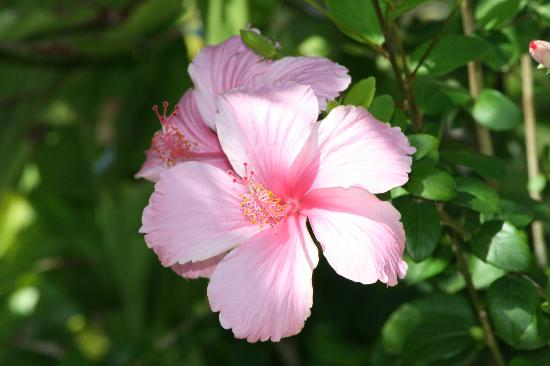 Morant Bay, Jamaika: Flower at hotel