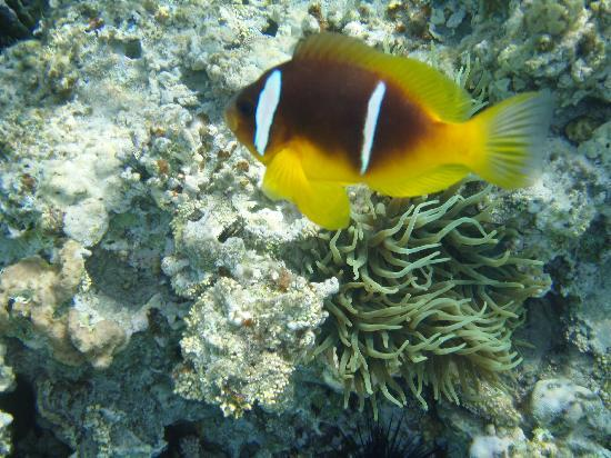 Le Meridien Dahab Resort: Nemo on the reef at the hotel