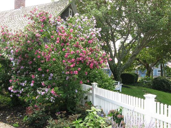 Ship's Knees Inn: Rose of Sharon along patio fence