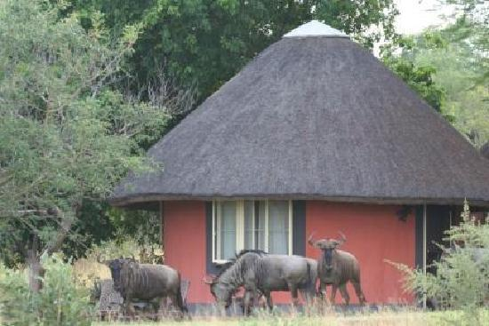 Mohlabetsi Safari Lodge: Our Rondawels are often visited by the locals!
