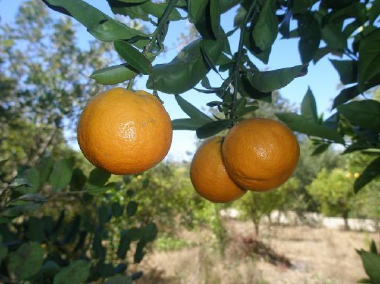 Loule, Portugal: Oranges