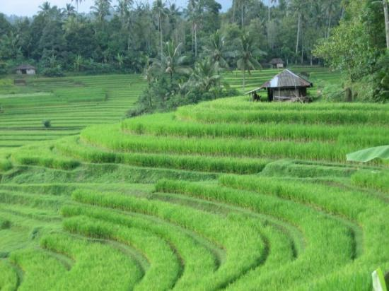 Rice terraces bali indonesia picture of ubud bali for Terrace ubud bali