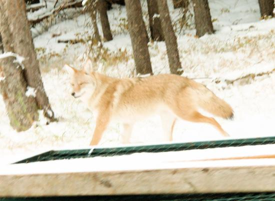 Elkhorn Lodge: coyote