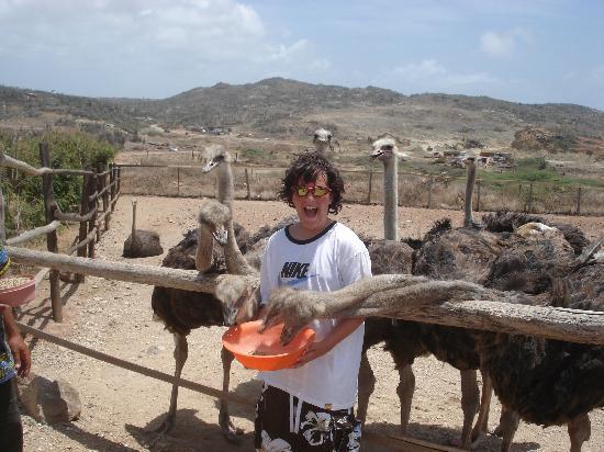 Aruba Ostrich Farm: feeding the ostriches