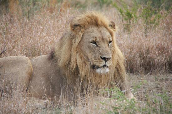 Tau Game Lodge: Spectacular lions