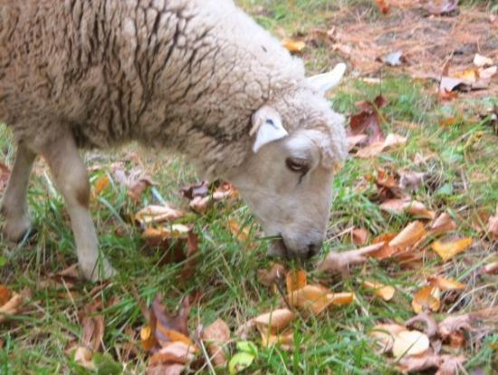 Old Sturbridge Village: I always wanted to have a sheep farm...they are noisy and stinky!!!!