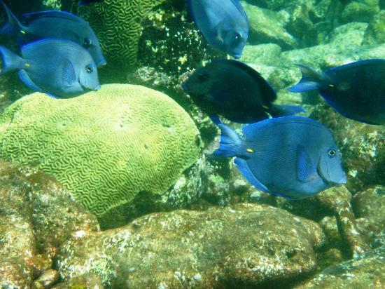 The Palms at Pelican Cove : School of Blue Tang at Long Reef