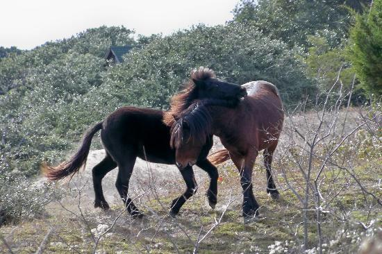 Cypress House Inn: wild horse/pony tour  Corolla Jeep tours