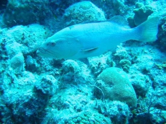 Providenciales: Big ol' grouper