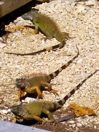 George Town, Gran Caimán: the iguanas of Grand Cayman