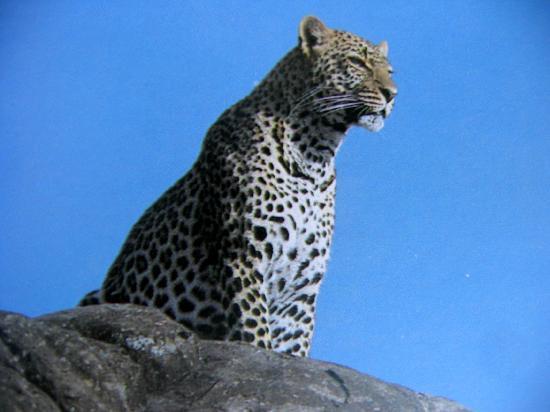 Bera, Indien: leopard