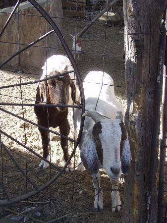 Gold King Mine Museum and Ghost Town: Don't forget the goats