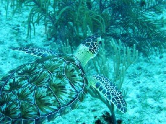 Dressel Divers Bayahibe: Tuvimos suerte, una tortuga...