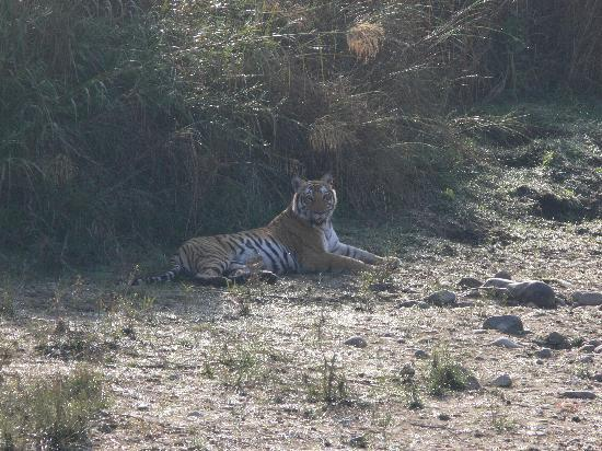 Dhela, Indien: Saw this tiger in full day safari in bijrani zone