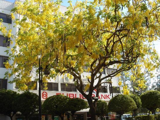 Labuan Beach: フェリー乗り場前の目抜きどうり(ゴールデンシャワーの樹)
