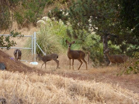 Jackson, Californien: Deer next to the carpark