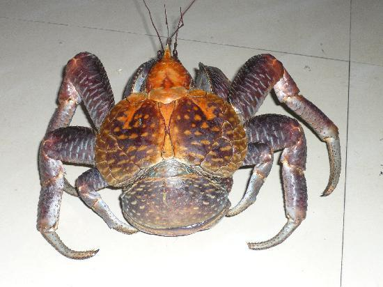 Bunaken Cha Cha Nature Resort: Is this a bug or a crab?