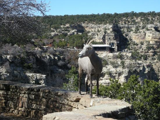 El Tovar Hotel: Mountain sheep come for cocktail hour
