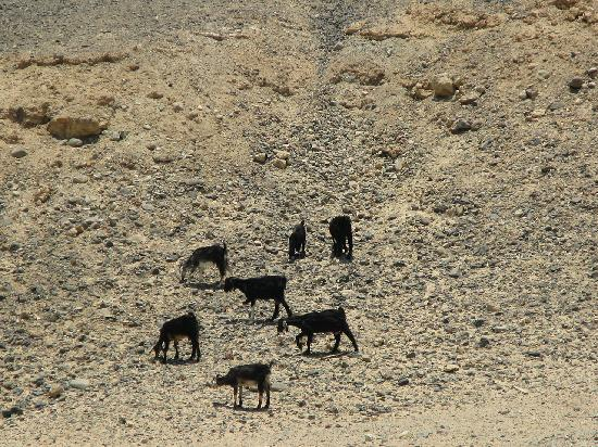 Awlad Baraka Ecolodge: passing goats