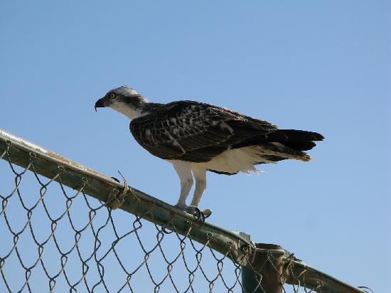 Awlad Baraka Ecolodge: Osprey at Hamata