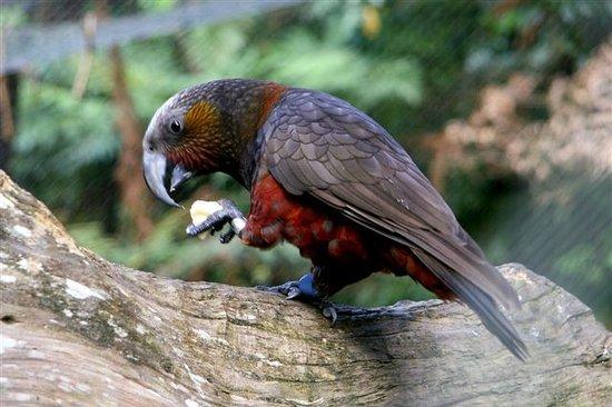 2c9a81e04ac8 Staglands Wildlife Reserve  Get up close to native birds such as the Kaka