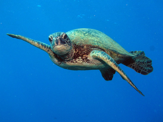 Extended Horizons : Honu - Hawaiian green sea turtles are commonly sighting while diving Maui and Lanai
