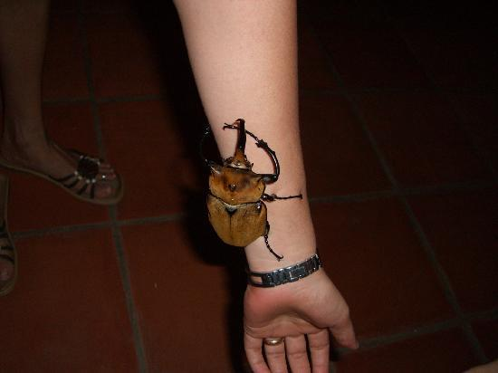 Hotel El Tajalin: A harmless Rhino Beatle on the owner's arm.