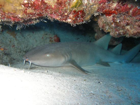 Ponte Buzo: Tiburón Gata Cozumel