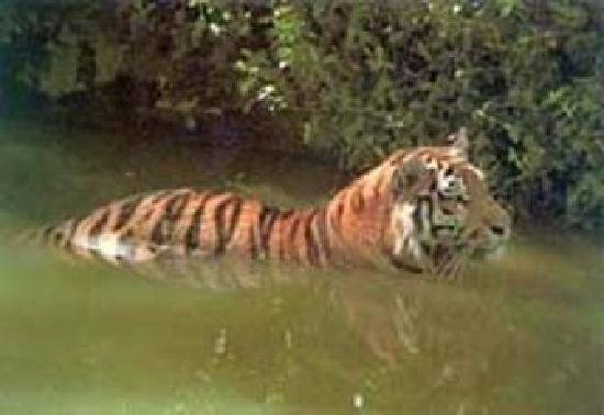 Khulna Division, Bangladesh: ROYAL BENGAL TIGER OF SUNDARBANS
