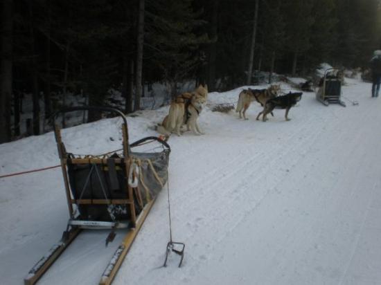 Snowy Owl Sled Dog Tours: Dog sled team