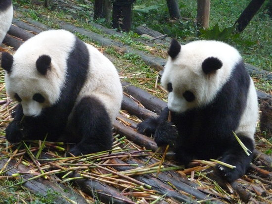 Travel China Guide : Chengdu, where the pandas did their best to entertain us