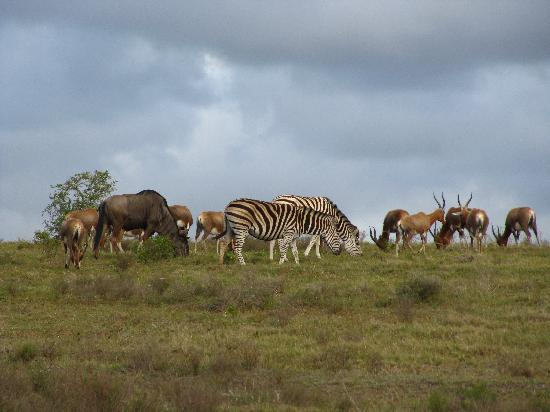 Schotia Safaris Private Game Reserve: Wildebeast, Zebra and antelope things