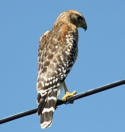 Lake Lizzie Nature Preserve: Red Shouldered Hawk