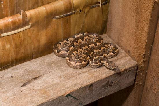 Munda, Islas Salomón: Our resident friendly boa in our bungalow!