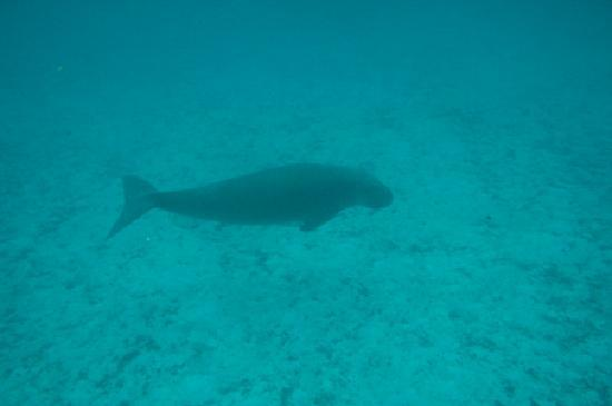 Tetepare Island Eco-lodge: A male dugong appears out of the blue