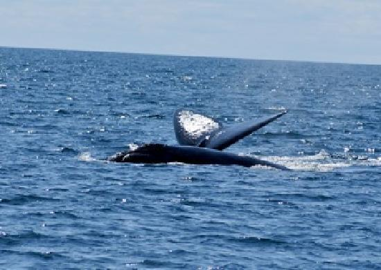 Cap'n Fish's Waterfront Inn: right whale