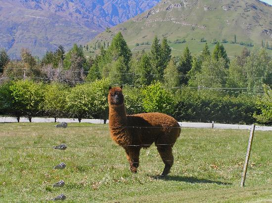 Crown View Bed & Breakfast: Alpaca