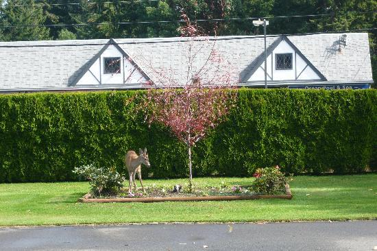 Arbutus Grove Motel: Deer enjoys flowerbed opposite room