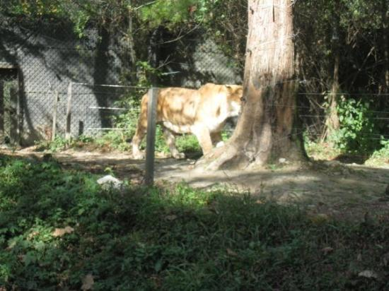 It S Liger Lion Tiger Picture Of Incheon South Korea