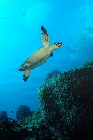Castle Comfort Dive Lodge : sea turtle