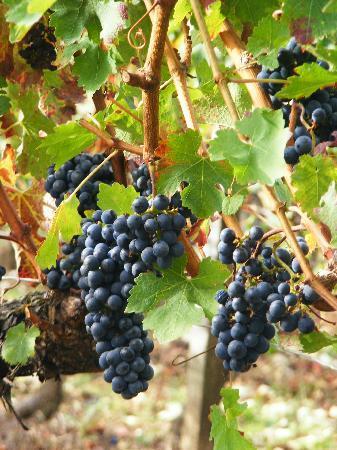 Villa St. Simon: Grapes at the Vineyards